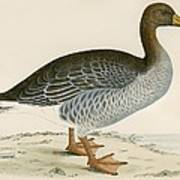 Gray Lag Goose Poster