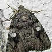 Gray Owlet Moth Poster