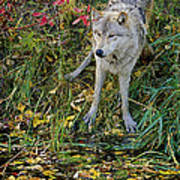 Gray Wolf Drinking Poster
