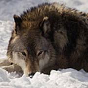 Gray Wolf In Snow Poster