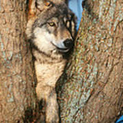 Gray Wolf In Tree Canis Lupus Poster