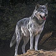 Gray Wolf On Hillside Endangered Species Wildlife Rescue Poster