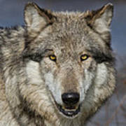 Gray Wolf Portrait Poster