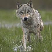 Gray Wolf Walking Through Water Poster