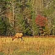 Grazing Elk Poster