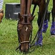 Grazing Polo Pony Poster