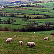Grazing Sheep In Green Fields Poster