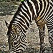 Grazing Zebra At The Buffalo Zoo 2 Poster