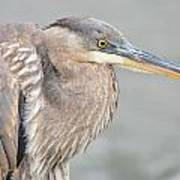 Great Blue Heron 4 Poster