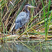Great Blue Heron 9 Poster