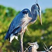 Great Blue Heron And Baby Poster