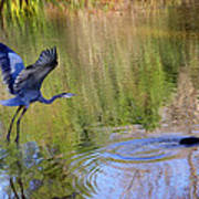 Great Blue Heron And Coot Poster