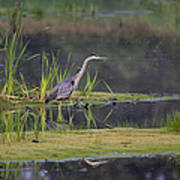 Great Blue Heron At Down East Maine Wetland Poster