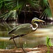 Great Blue Heron By Pond Poster