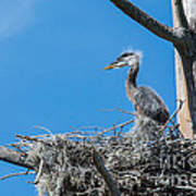Great Blue Heron Chick Poster