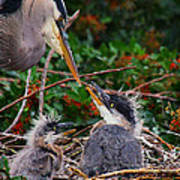 Great Blue Heron Family Poster