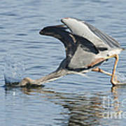 Great Blue Heron Fishing Poster