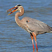 Great Blue Heron Flipping A Shrimp Poster