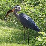 Great Blue Heron Grabs A Meal Poster