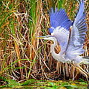 Great Blue Heron Lift Off Poster