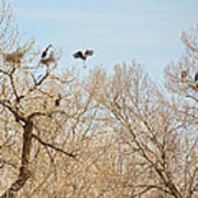 Great Blue Heron Nest Building 1 Poster