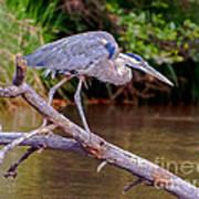 Great Blue Heron Oak Creek Canyon Sedona Arizona Poster