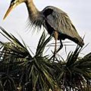 Great Blue Heron On Palm Poster