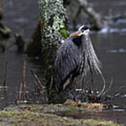 Great Blue Heron On The Clinch River Poster