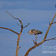 Great Blue Heron Perched On Branch Poster