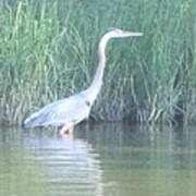 Great Blue Heron Reflecting Poster