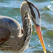 Great Blue Heron Splish Splash Poster