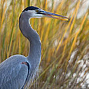 Great Blue Heron Square Image Poster