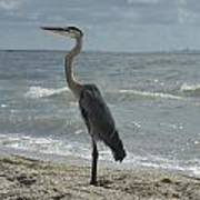 Great Blue Heron Standing Tall Poster