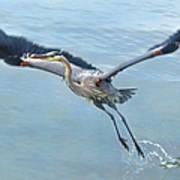 Great Blue Heron Take Off Poster