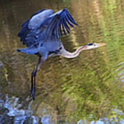 Great Blue Heron Taking Off Poster