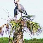 Great Blue Heron Three Poster
