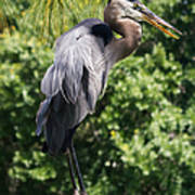 Great Blue Heron Vii Poster