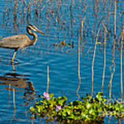 Great Blue Heron Wading II Poster