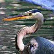 Great Blue Heron Whiskers Poster