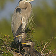 Great Blue Heron With Chicks Florida Poster