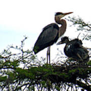 Great Blue Heron With Fledglings II Poster