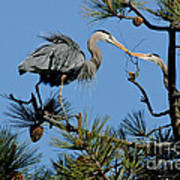 Great Blue Heron With Nest Material Poster