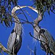Great Blue Herons Poster