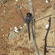 Slaty Skimmer Dragonfly Shadow Poster
