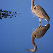 Great Blue Wading Poster