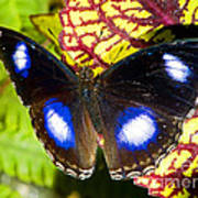 Great Eggfly Butterfly Poster