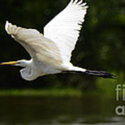 Great Egret Amazon River Poster