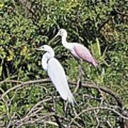 Great Egret And Roseate Spoonbill Poster