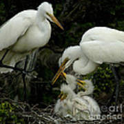 Great Egret Family 2 Poster