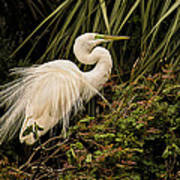 Great Egret In Breeding Plumage Poster